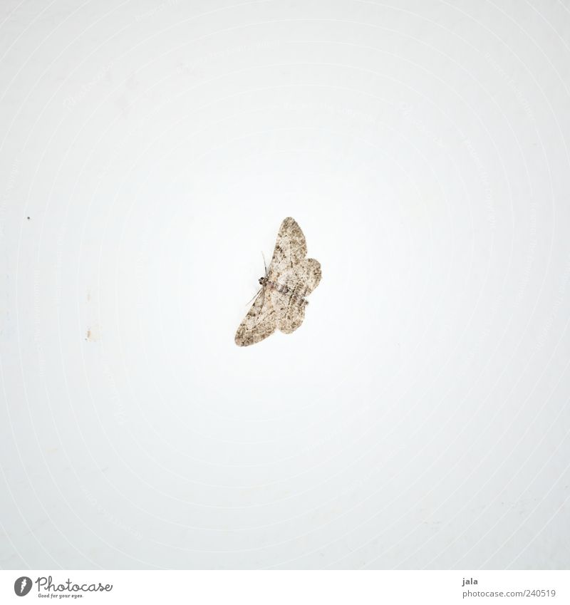 butterflies Animal Wild animal Wing Butterfly Insect 1 Esthetic Beautiful Brown White Colour photo Subdued colour Interior shot Deserted Copy Space left