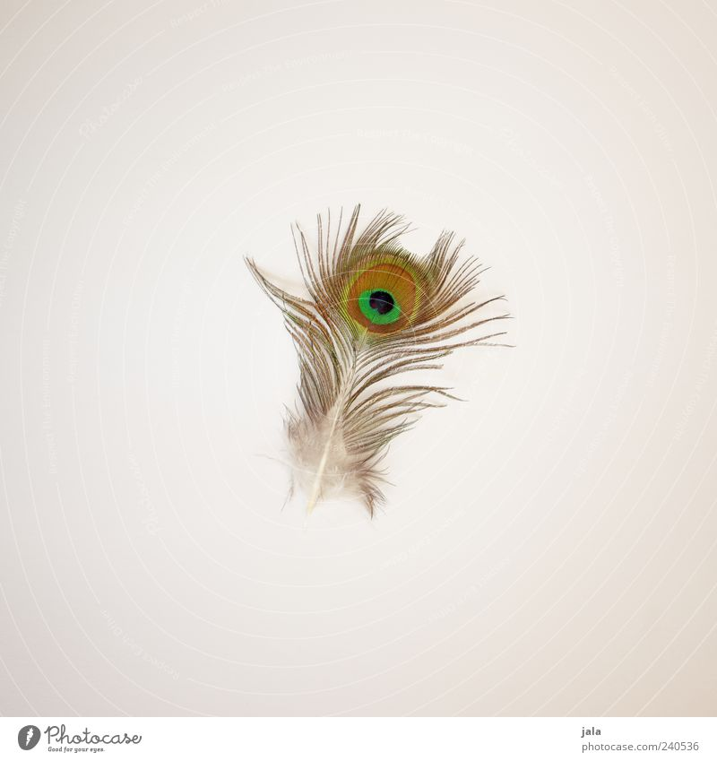 peacock Feather Peacock feather Esthetic Simple Beautiful Natural Colour photo Interior shot Deserted Copy Space left Copy Space right Copy Space top