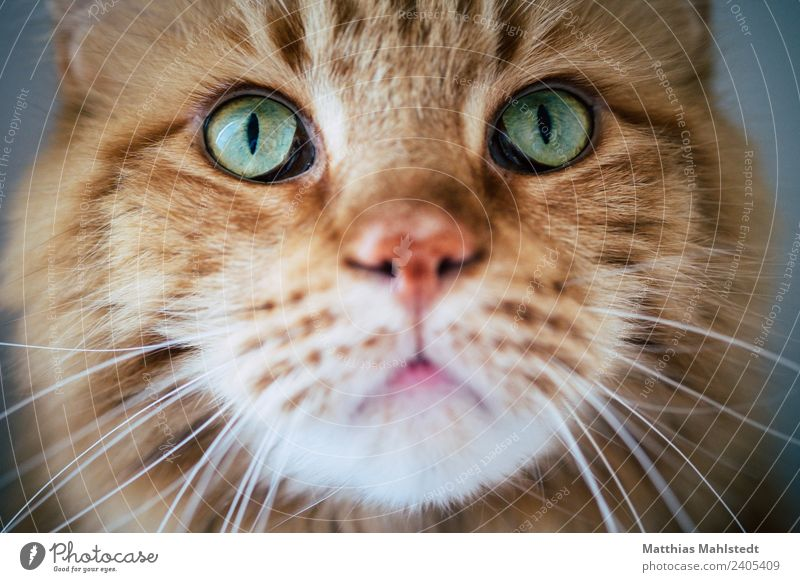 Marley Animal Pet Cat Animal face 1 Looking Exceptional Beautiful Cuddly Cute Soft Green Red Emotions Sympathy Friendship Love of animals Interest Nature