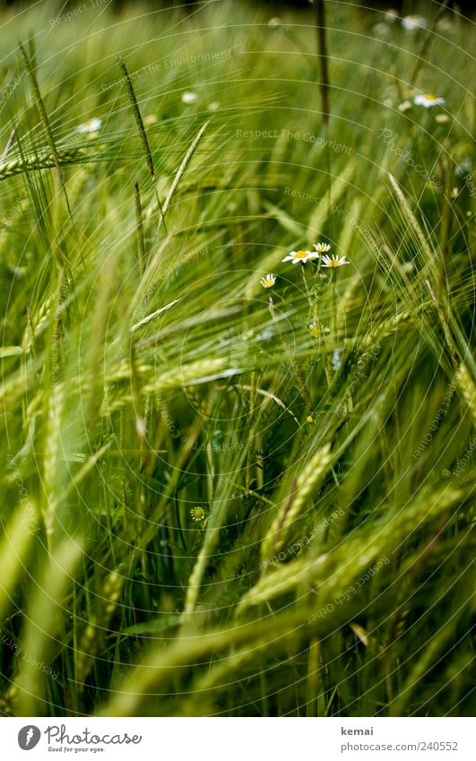 Nature Green Plant Summer Environment Grass Field Growth Grain Foliage plant Ear of corn Barley Agricultural crop Wild plant Chamomile Barleyfield