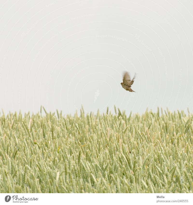 The Lightness of Being* Environment Nature Plant Animal Sky Summer Agricultural crop Grain Field Grain field Bird Sparrow 1 Flying Authentic Free Natural