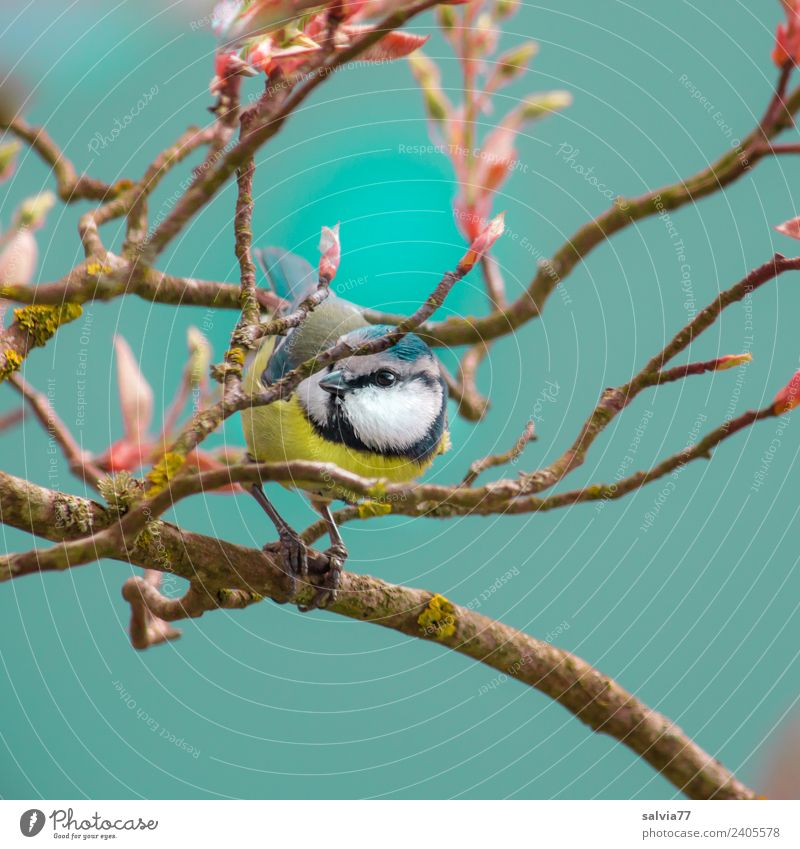 spring fever Environment Nature Spring Plant Tree Bushes Leaf rock pear Animal Bird Animal face Tit mouse Ornithology 1 Small Cute Blue Spring fever