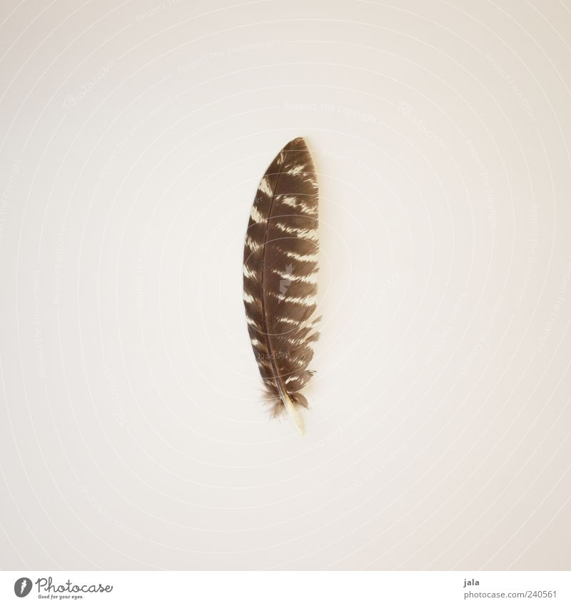 Beautiful Brown Elegant Esthetic Feather Simple Collection Beige Collector's item