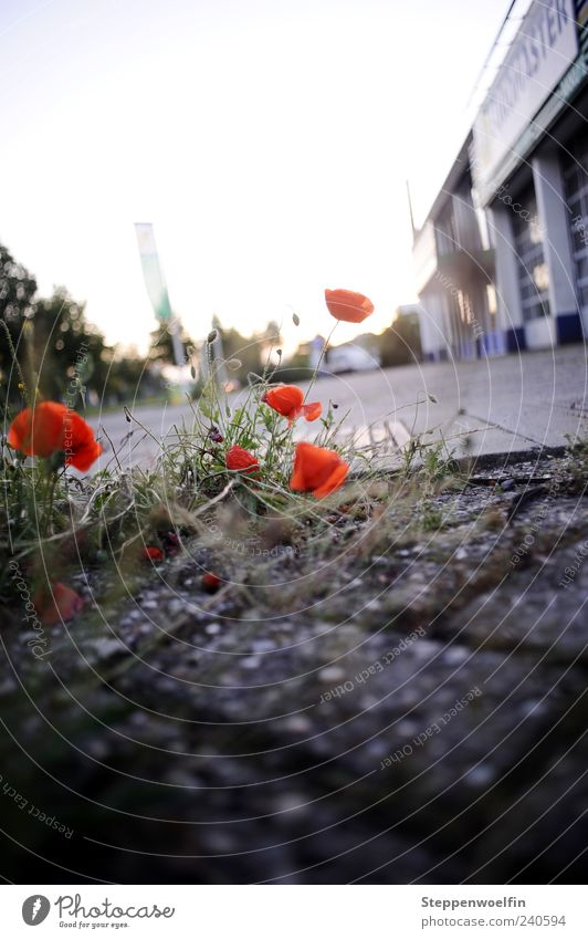 city poppy Plant Beautiful Red Black Survive Adaptable Poppy Poppy blossom Building Industrial district Grass Stone Paving stone Column Back-light Moss Dirty