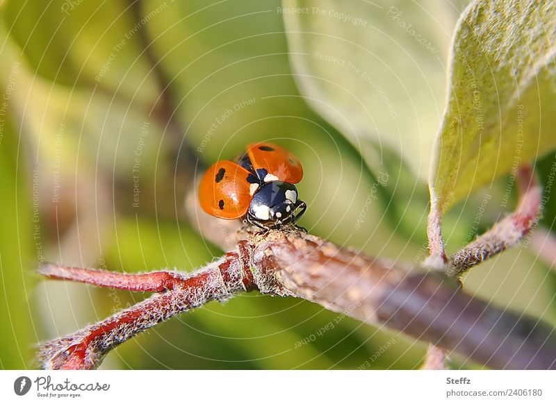 On the runway Nature Plant Animal Summer Autumn Leaf Twig Quince leaf Garden Beetle Wing Ladybird Flying Crawl Small Beautiful Green Red Summer feeling Freedom