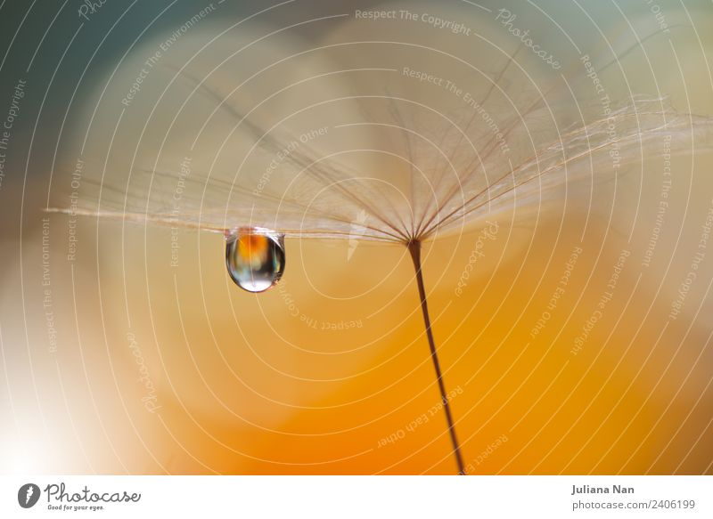 Abstract macro,dandelion,water drops.Nature.Romantic Art Lifestyle Elegant Style Design Beautiful Relaxation Decoration Artist Work of art Plant Drops of water