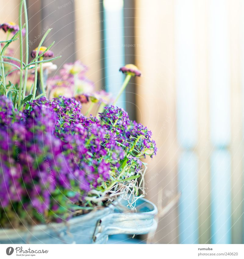 Beautiful Plant Summer Flower Spring Blossom Garden Pink Violet Blossoming Pot Flowerpot Pot plant Seasons