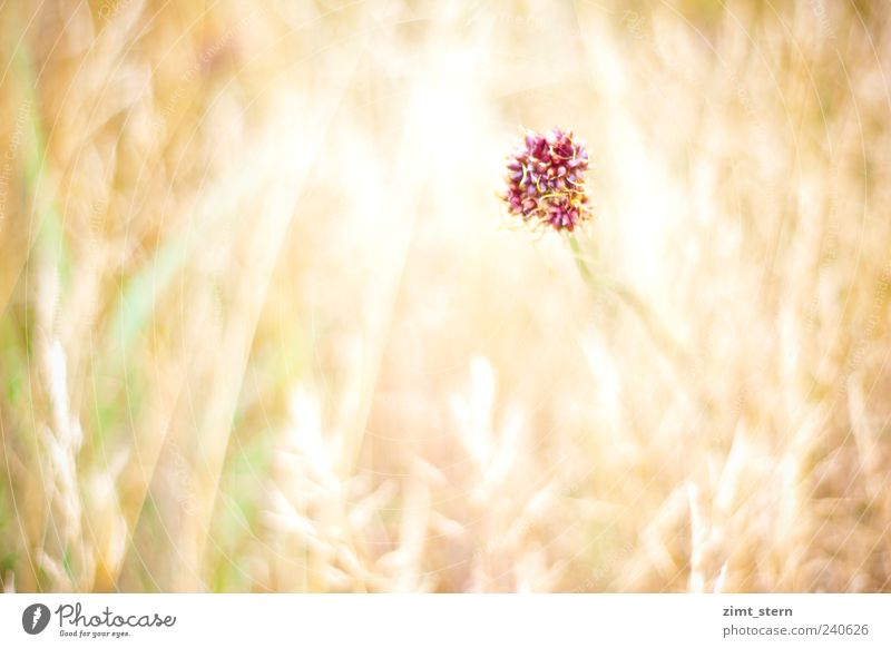 Green Beautiful Plant Summer Flower Loneliness Yellow Meadow Grass Garden Bright Field Gold Pink Wild Growth