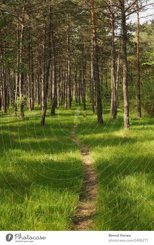 Path through the pine forest Environment Nature Landscape Spring Summer Beautiful weather Plant Grass Meadow Forest Going To enjoy Hiking Bright Natural Brown