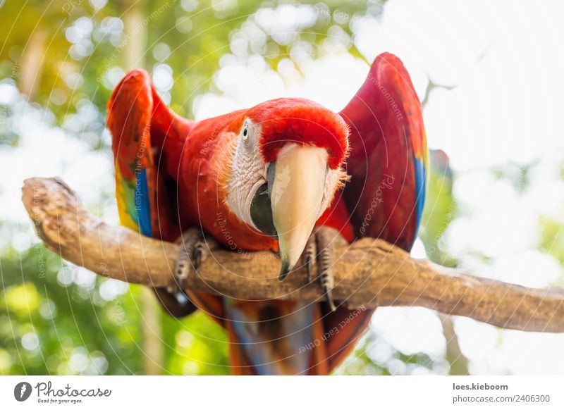 Straight looking Scarlett Macaw parrot Vacation & Travel Tourism Adventure Summer Nature Bird 1 Animal Exotic Funny Red macaw copan Honduras feather wildlife