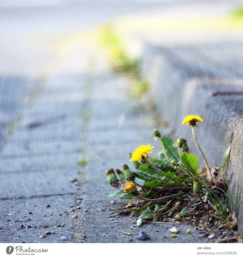 Inconspicuous Environment Plant Flower Leaf Blossom Dandelion Street Roadside Curbside Paving stone Stone Blossoming Growth Fresh Natural Beautiful Wild Yellow