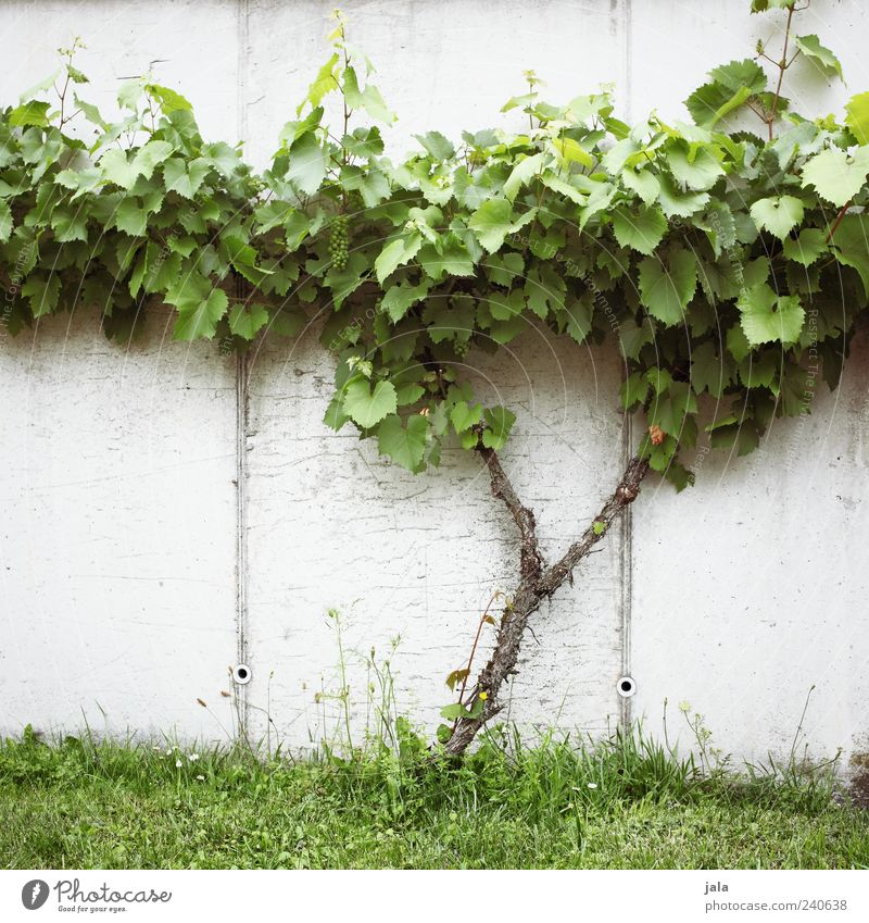 vine Fruit Bunch of grapes Nature Plant Grass Leaf Foliage plant Agricultural crop Meadow Wall (barrier) Wall (building) Facade Delicious Colour photo