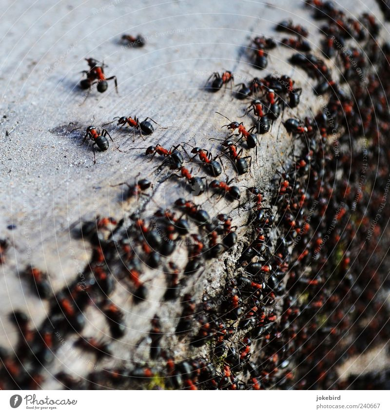 orderly swarm Wild animal Ant Wood Work and employment Walking Together Small Black Team Teamwork Attachment Many Multiple Diligent Waldameise Social Corner