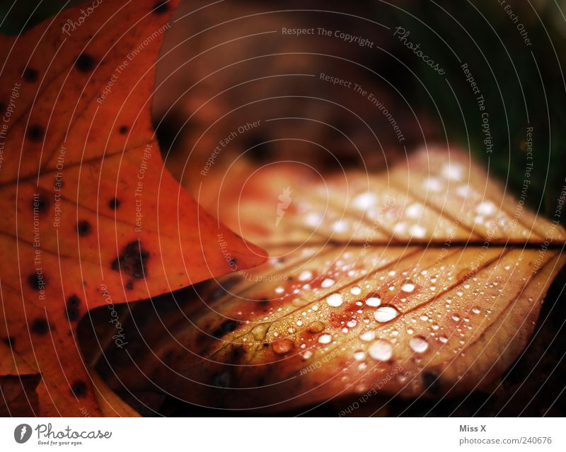 Nature Red Leaf Dark Autumn Brown Wet Drops of water Dew Autumn leaves Autumnal Rachis Deciduous forest