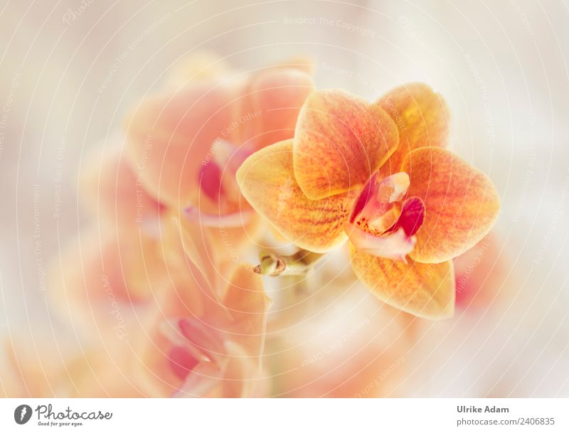 Orange Orchids Elegant Design Wellness Life Harmonious Well-being Contentment Relaxation Calm Meditation Cure Spa Decoration Wallpaper Plant Spring Summer