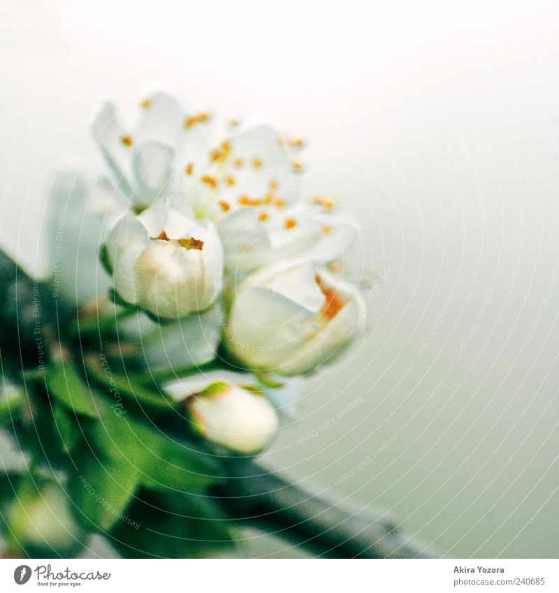 Remember Of Spring Nature Plant Leaf Blossom Bud Blossoming Fragrance Growth Esthetic Fresh Gray Green White Spring fever Beginning Colour photo Subdued colour