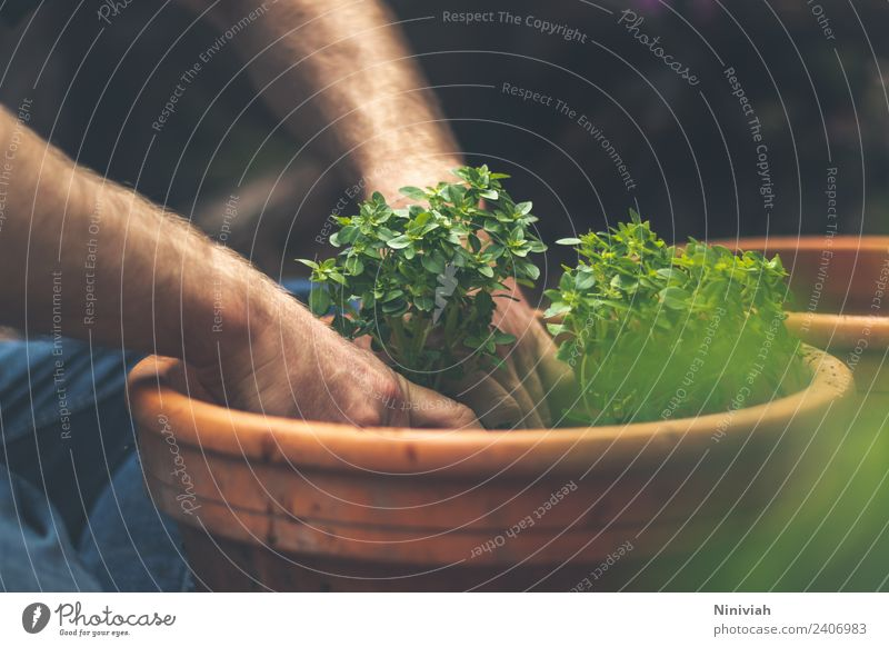 Gardening in spring - potting basil Healthy Healthy Eating Well-being Contentment Senses Relaxation Leisure and hobbies Human being Masculine Hand Nature Plant