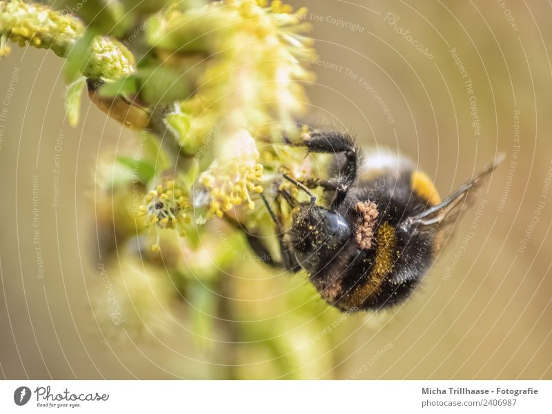 Bumblebee on the blossom Environment Nature Plant Animal Sun Beautiful weather Tree Leaf Blossom Wild animal Bee Animal face Wing Bumble bee Eyes Insect 1