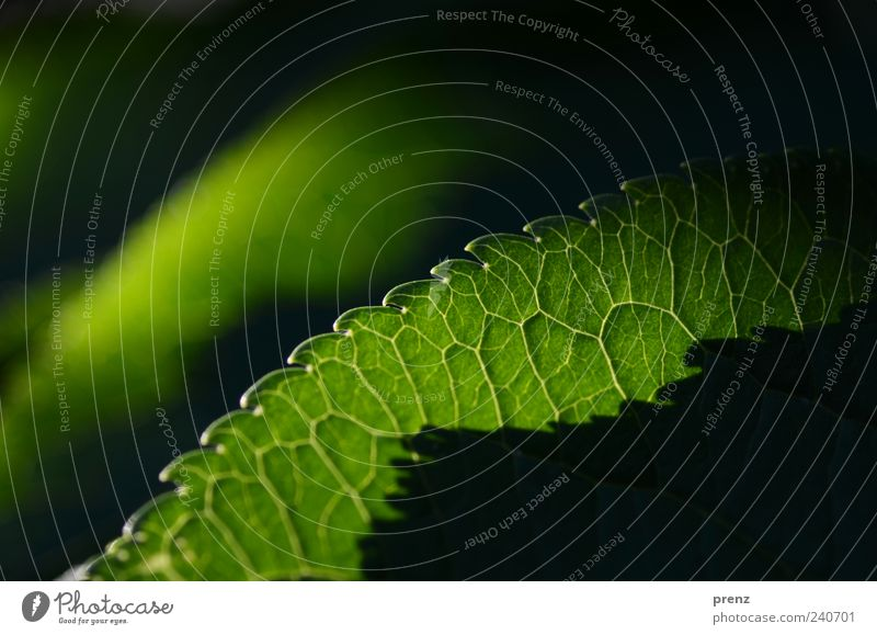 Light and Shadow 2 Plant Leaf Wild plant Green Black Rachis Prongs Translucent Line Exterior shot Colour photo Deserted Morning Silhouette