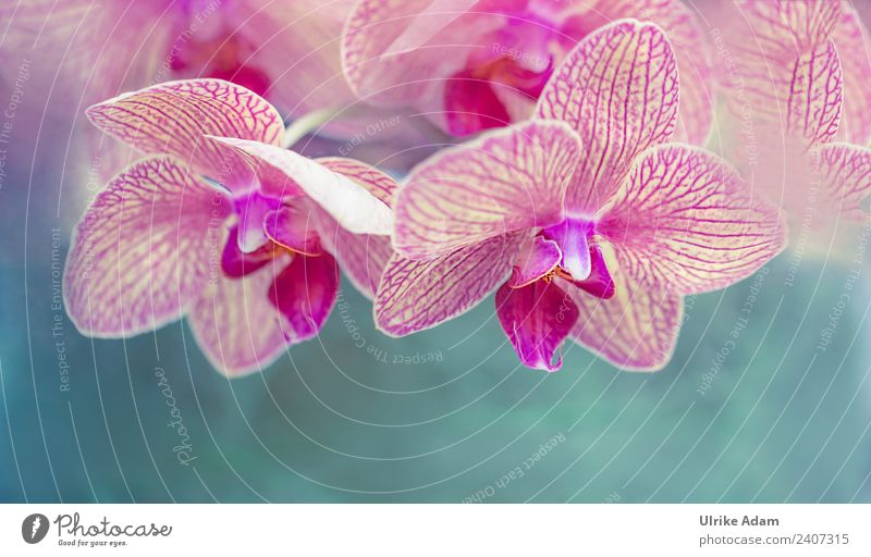 Pink orchids - Phalaenopsis flower Beautiful Wellness Life Harmonious Well-being Contentment Senses Relaxation Calm Meditation Cure Spa Massage Acupuncture