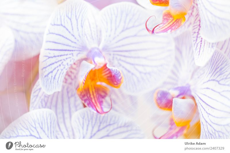 orchids Elegant Design Wellness Life Harmonious Well-being Contentment Senses Relaxation Calm Meditation Cure Spa Wallpaper Feasts & Celebrations Nature Plant