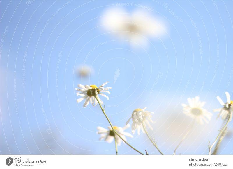 Sky Nature Plant Summer Flower Meadow Spring Blossom Field Elegant Growth Illuminate Idyll Beautiful weather Card Fragrance