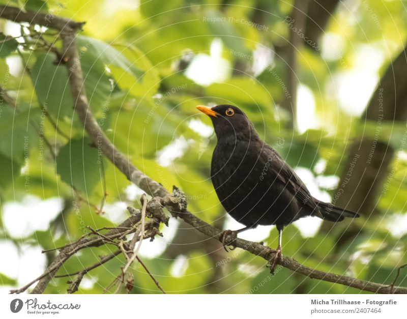 Blackbird in a tree Environment Nature Animal Sun Beautiful weather Tree Leaf Forest Wild animal Bird Animal face Wing Claw Eyes Beak 1 Observe Looking Stand