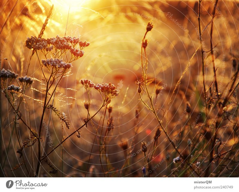 evening sun. Environment Nature Landscape Plant Climate Esthetic Contentment Summer Flower meadow Sunlight Field Calm Peaceful Weed Beautiful Snapshot