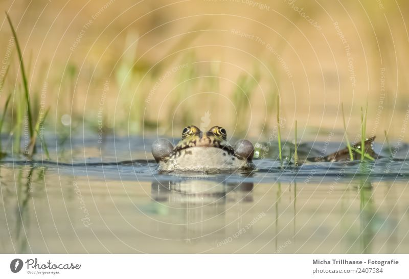 Frog in water Nature Animal Water Sun Beautiful weather Pond Lake Wild animal Animal face Water frog sound bubbles Air bubble Eyes Webbing Legs 1 Breathe