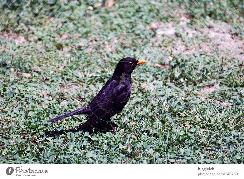 Green Black Animal Meadow Grass Bird Sit Watchfulness