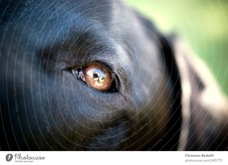 dogeyes Summer Eyes Garden Animal Pet Dog 1 Calm Labrador Weimaraner Colour photo Exterior shot Close-up Macro (Extreme close-up) Day Light Shadow Contrast