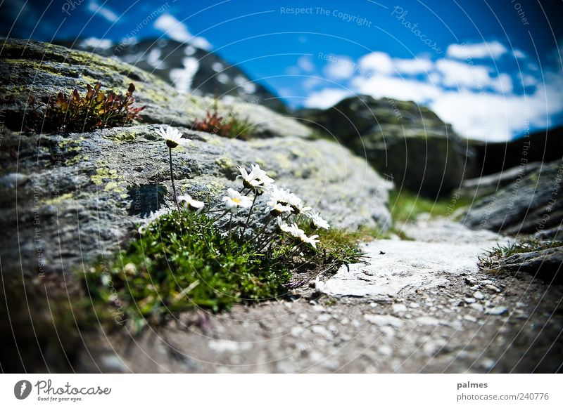 Vacation & Travel Plant Summer Mountain Grass Stone Rock Trip Alps Daisy Moss Spring fever