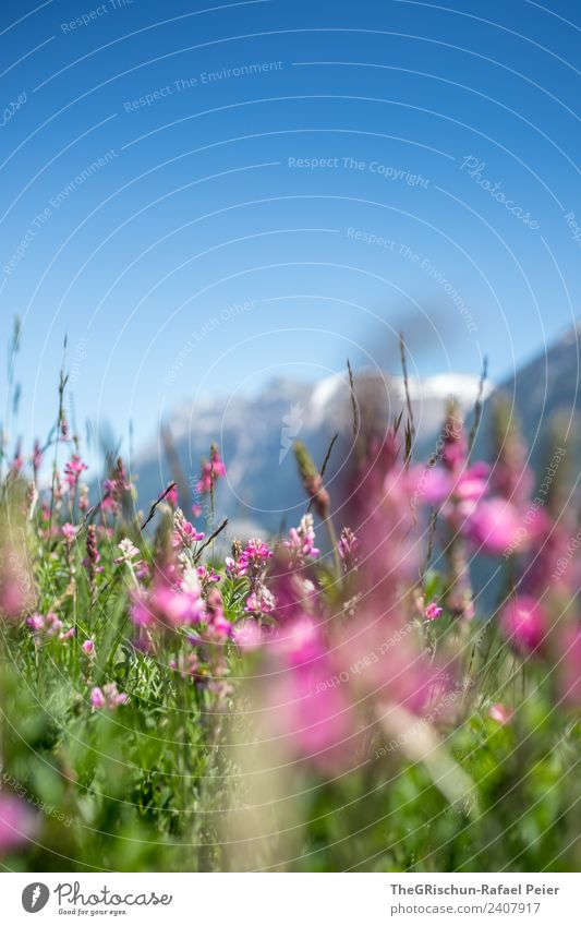 Sky Nature Plant Blue Green Mountain Environment Spring Meadow Pink Violet Mountain meadow
