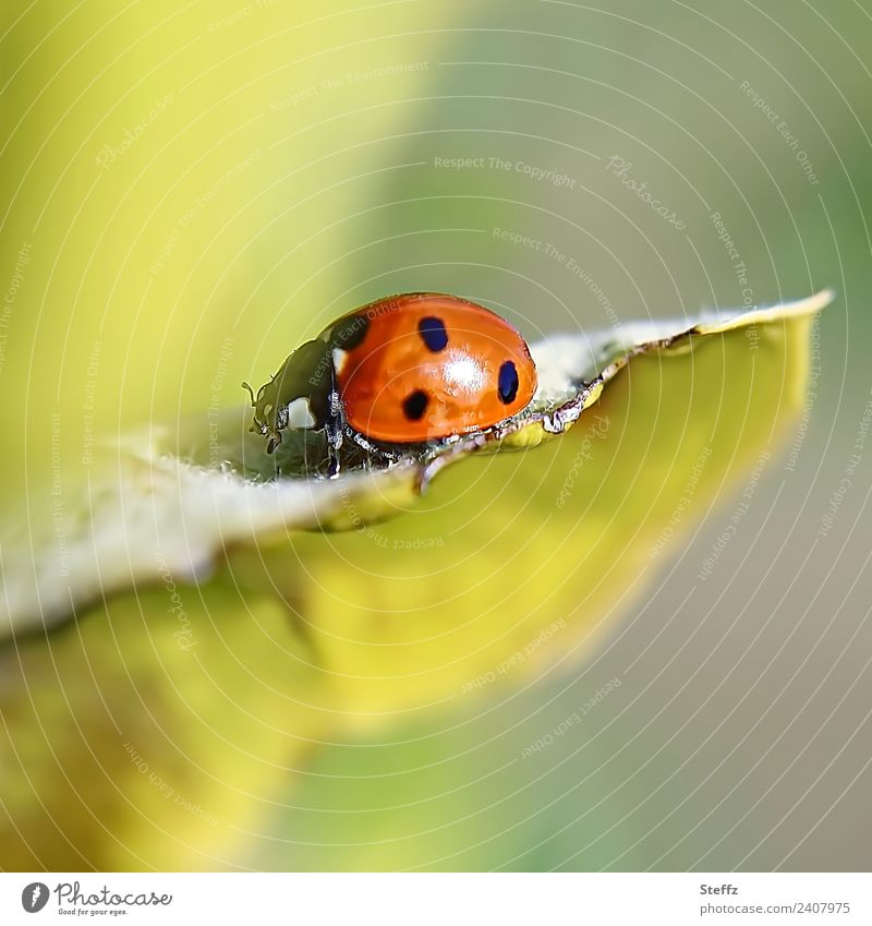 lucky charm Nature Autumn Plant Leaf Quince leaf Garden Animal Beetle Ladybird Insect Crawl Small Beautiful Yellow Green Red Happy Good luck charm