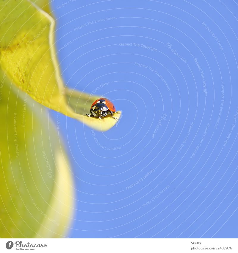flight pause Nature Sky Cloudless sky Autumn Beautiful weather Plant Leaf Quince leaf Garden Animal Beetle Ladybird Insect Small Blue Yellow Red Sky blue