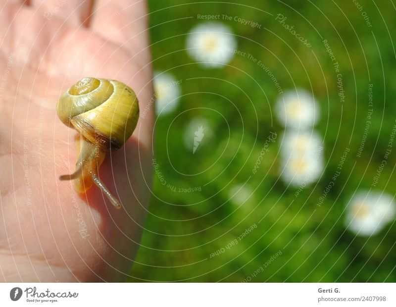 tame snail Hand Grass Daisy Meadow Animal Snail 1 Touch Movement Green Love of animals Caution Serene Patient Calm Life Disgust Slow motion Slowly Contrast