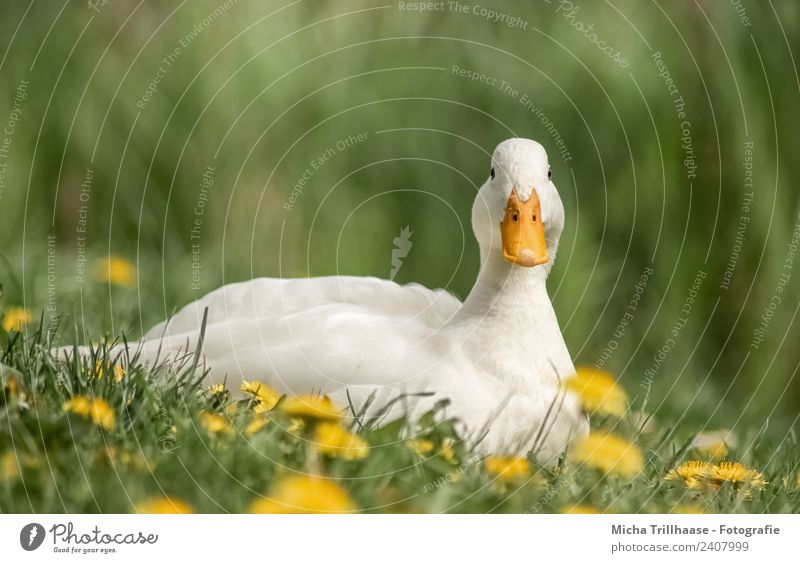 Relaxed white duck Nature Plant Animal Sun Beautiful weather Flower Grass Dandelion Meadow Wild animal Bird Animal face Wing Duck Mallard Beak Eyes Feather 1