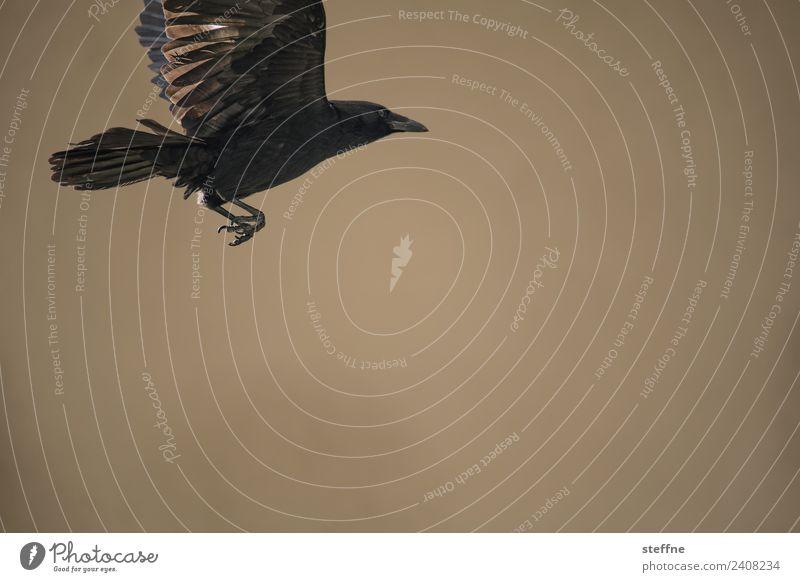 Animal Bird Flying Wild animal Claw Raven birds