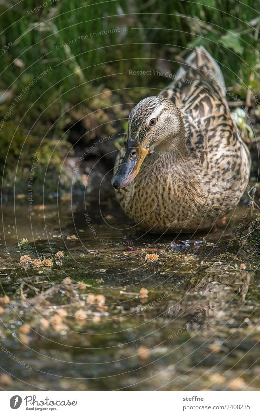 Duck posing in the mud Spring Animal Wild animal Bird 1 Sit Duck pond Mallard Camouflage Colour photo Exterior shot Copy Space bottom Shallow depth of field