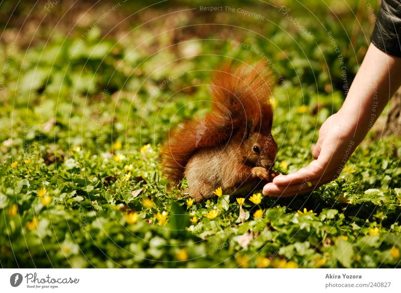 feeding time Arm Hand Flower Grass Park Meadow Animal Wild animal Squirrel 1 To feed Feeding Sit Exceptional Friendliness Small Cute Green Red Acceptance Trust