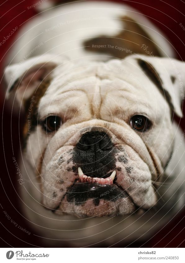 English Bulldog (Marley) Playing Pet Dog Animal face Pelt 1 Observe Movement Sit Exceptional Friendliness Beautiful Cuddly Funny Muscular Curiosity Cute