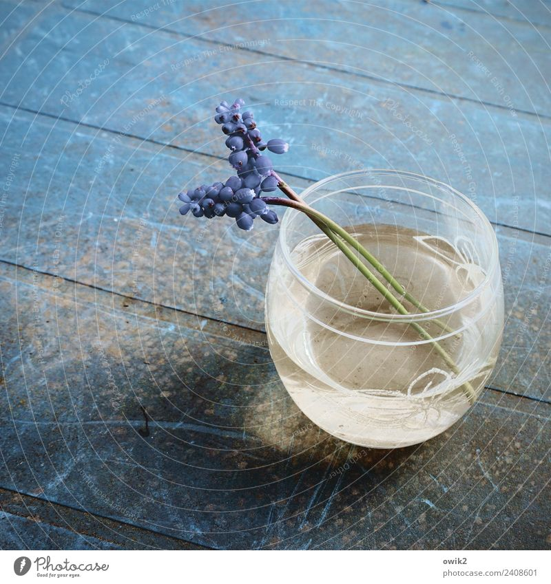 Make blue Water Hyacinthus 2 Flower vase Tabletop Glass Plastic Blossoming Fragrance Relaxation Old Thin Authentic Blue Calm Delicate Fragile Small Near Stalk