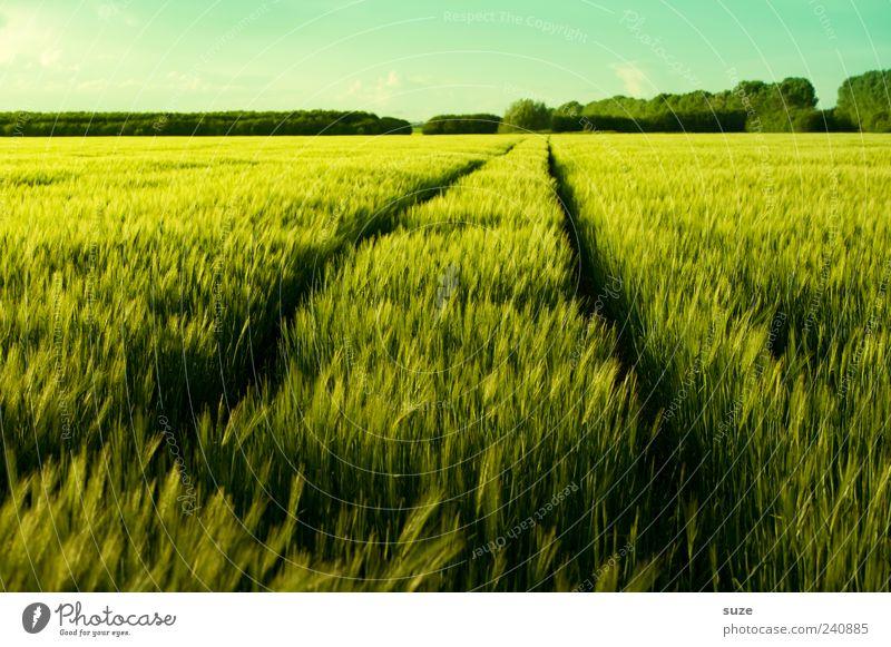 military policeman Grain Organic produce Environment Nature Landscape Plant Climate Beautiful weather Agricultural crop Field Lanes & trails Fresh Natural Green