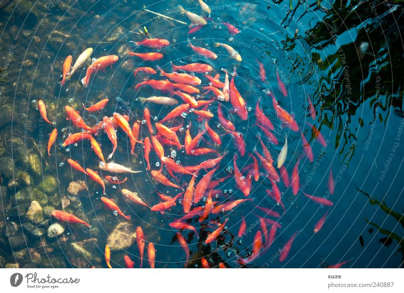 gold washing Swimming & Bathing Animal Water Pond Lake Fish Flock Movement Together Wet Round Gold Red Attachment Swirl Goldfish Shoal of fish Living thing
