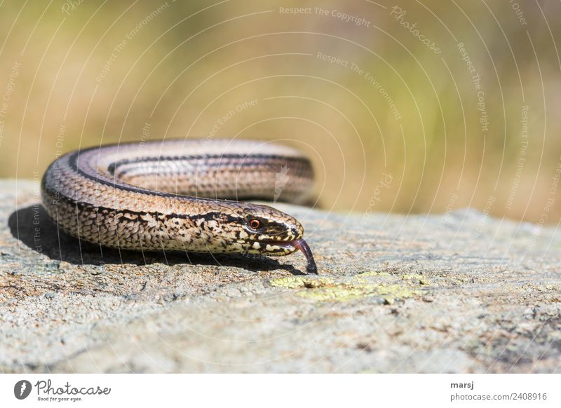 Snake alarm. Wrong report. Animal Wild animal Slow worm Eyes Tongue 1 Observe Discover Illuminate Disgust Creepy Colour photo Subdued colour Exterior shot