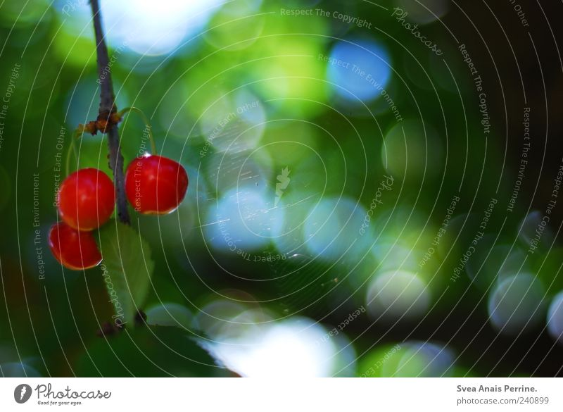 cherry. Fruit Environment Nature Plant Beautiful weather Tree Cherry Cherry tree Spider's web Garden Blossoming Hang Natural Green Red Colour photo
