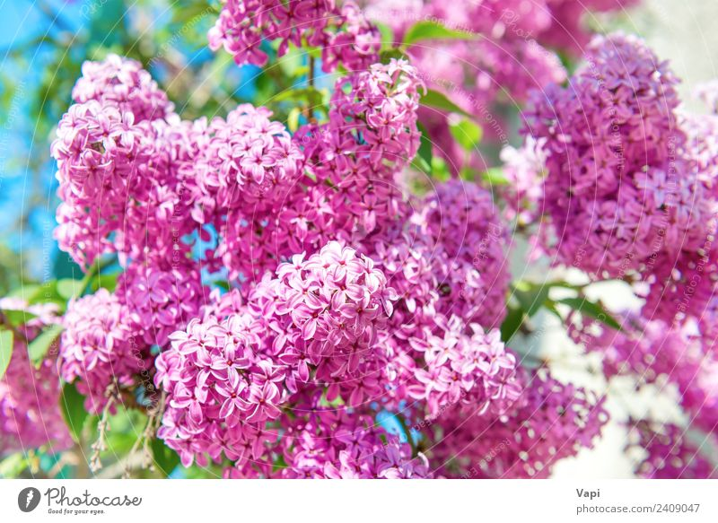 Branch of beautiful purple lilac flowers on the bush Beautiful Summer Garden Decoration Environment Nature Landscape Plant Sunlight Spring Beautiful weather