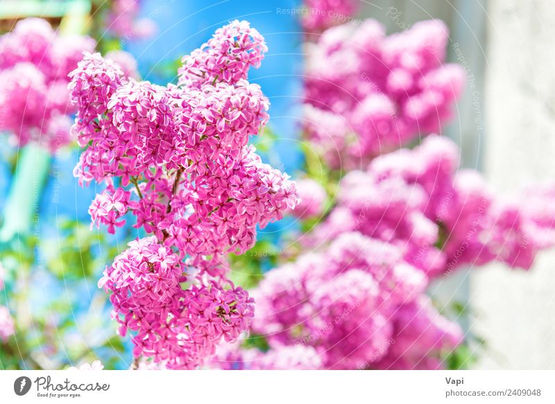 Branch of beautiful purple lilac flowers Beautiful Summer Garden Decoration Nature Landscape Plant Sunlight Spring Beautiful weather Tree Flower Bushes Leaf