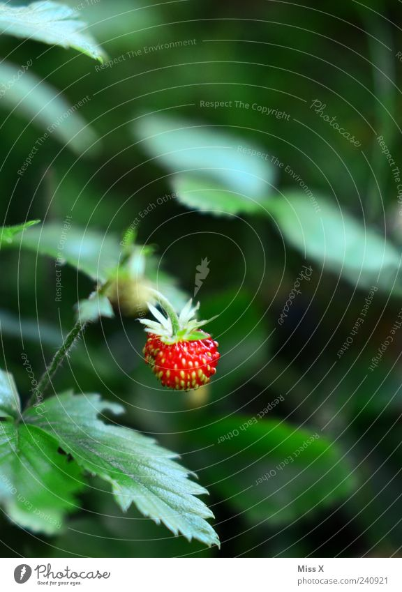 wild strawberry Fruit Summer Plant Bushes Leaf Delicious Green Red Strawberry Wild strawberry Colour photo Multicoloured Exterior shot Close-up Deserted