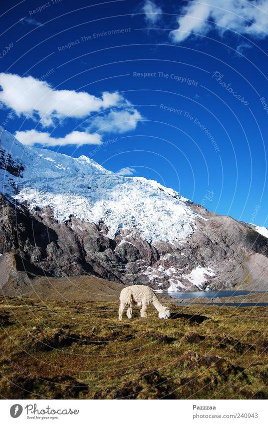 Nature Animal Landscape Snow Mountain Pelt Snowcapped peak To feed Glacier Farm animal Camel Peru South America Andes